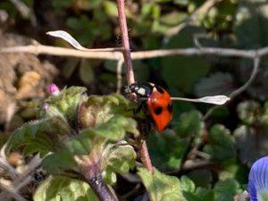 てんとう 虫 の お告げ てんとう虫のスピリチュアルな意味は幸運のシンボル!